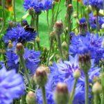 Eau florale de bleuet pour votre beauté !