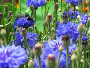 fleurs-bleuet